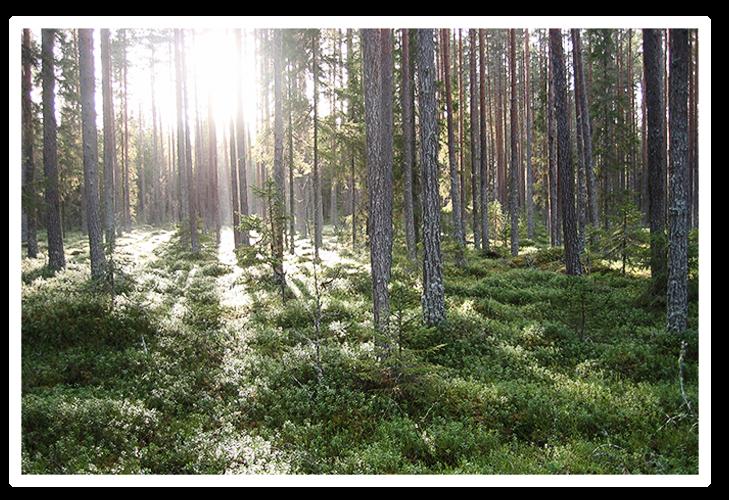 pi_skog_2